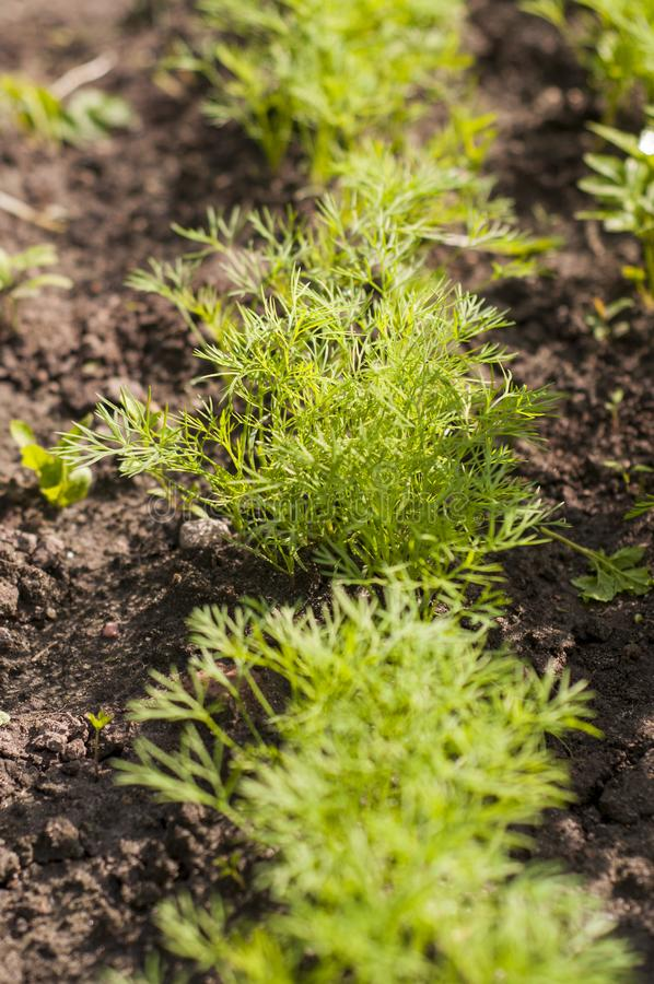 Brotos do aneto na cama do jardim Cozinha-jardim Erva-doce fresca da colheita fotografia de stock