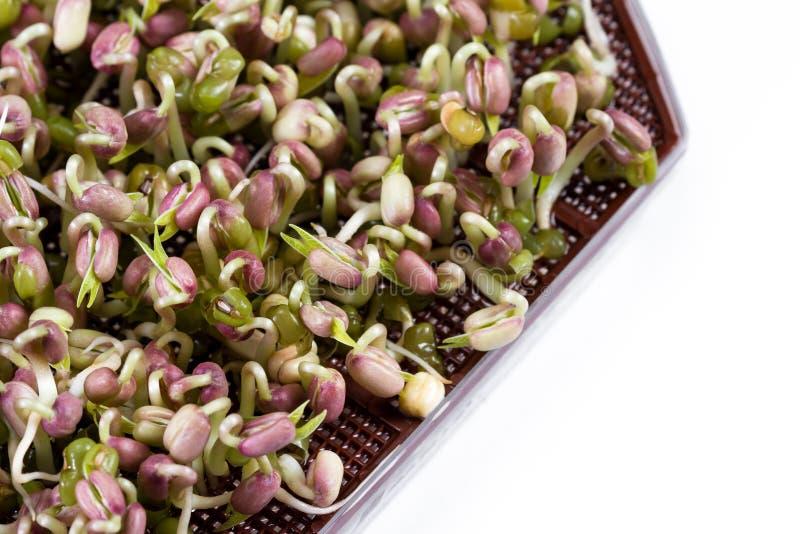 Brotos do feijão de soja verde imagens de stock royalty free