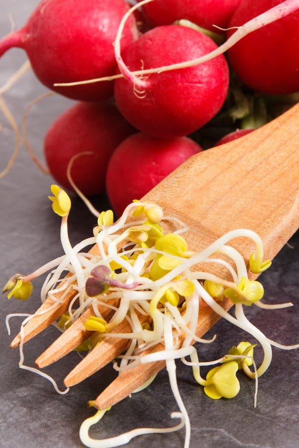 Brotos do rabanete como vitaminas e minerais naturais da fonte, estilo de vida saud?vel e conceito da nutri??o fotografia de stock