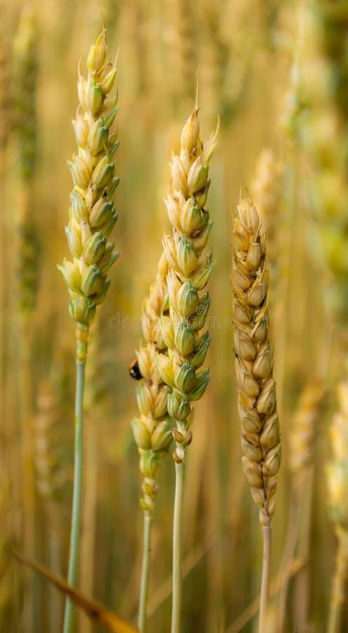 Brotos do trigo, campo, besouro, campo de trigo imagens de stock