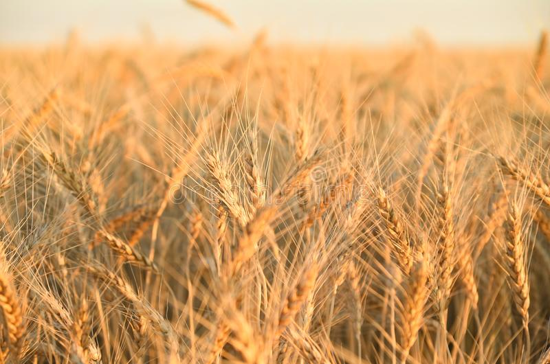 Brotos dourados do trigo imagem de stock