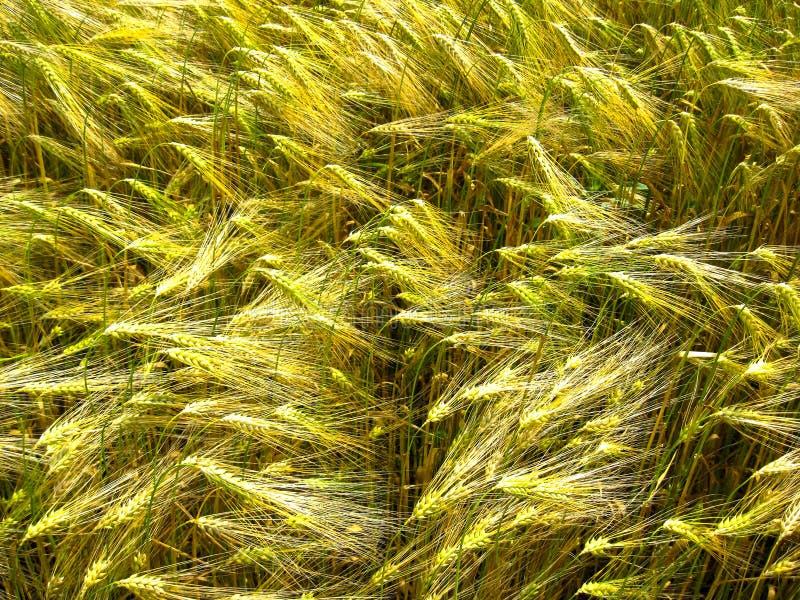 Brotos e hastes verdes e dourados do trigo da grão fotografia de stock royalty free