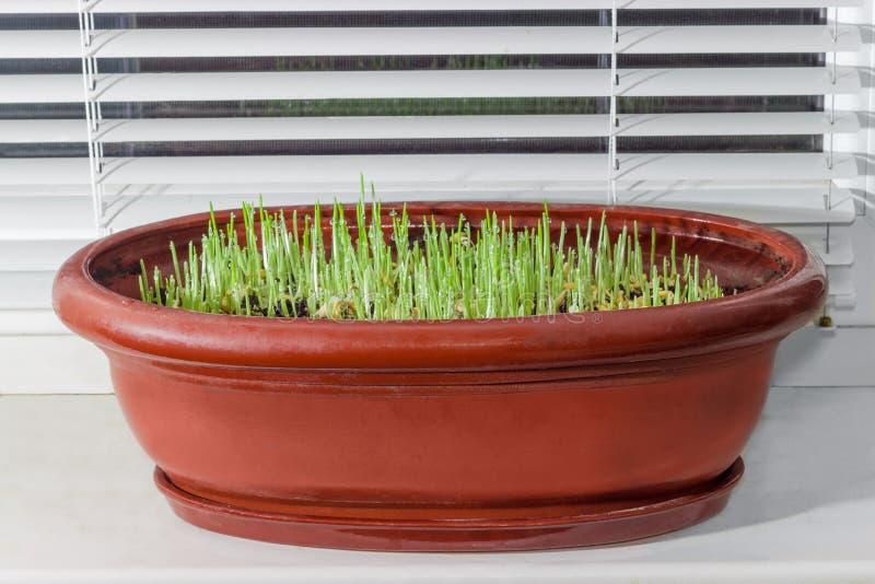 Brotos novos da cevada no potenciômetro de flor na soleira foto de stock royalty free