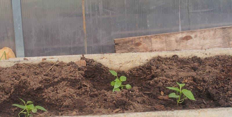 Brotos novos do  de Ð da pimenta, plantados nas camas na estufa agricultura imagens de stock royalty free