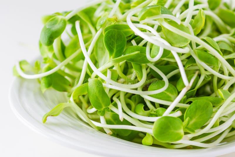 Brotos novos verdes do girassol foto de stock royalty free