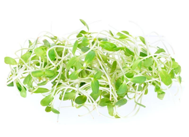 Brotos novos verdes do girassol imagens de stock