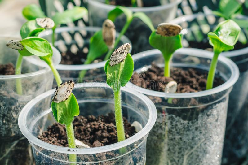 Brotos verdes novos da abóbora, preparados aterrando na terra aberta O despertar da natureza foto de stock royalty free