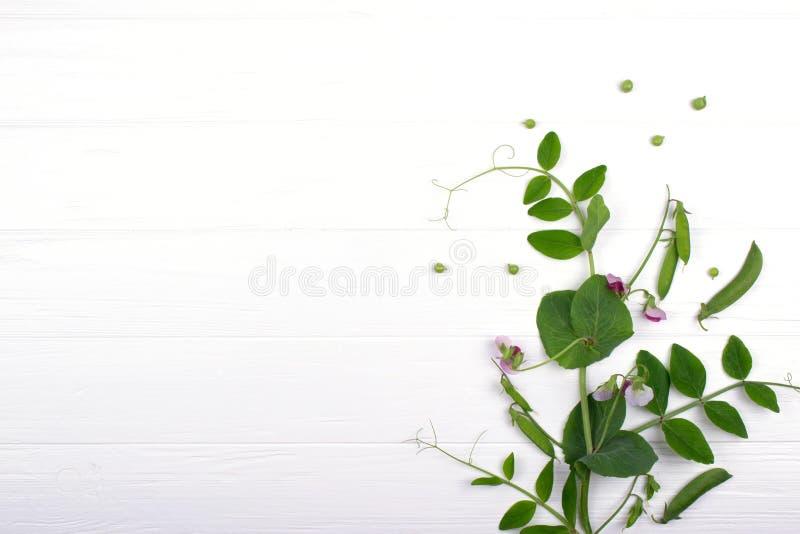 Brotos verdes novos das ervilhas com a flor roxa no fundo branco foto de stock royalty free