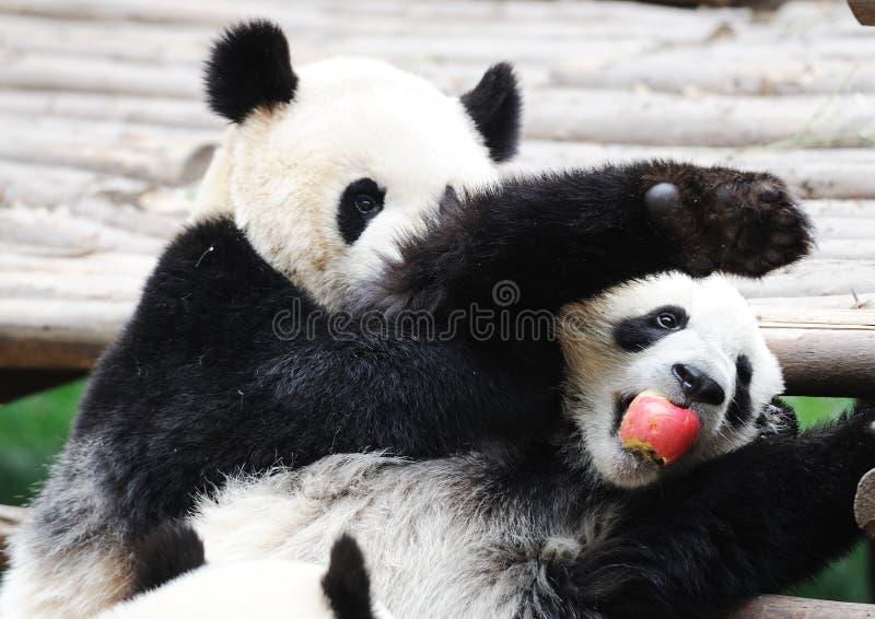 Brottstyckeäpple för två pandor arkivfoton
