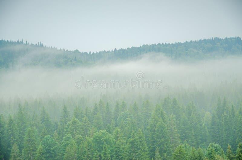 Download Brouillard épais De Matin Dans La Forêt D'été Photo stock - Image du brume, conifére: 76086316