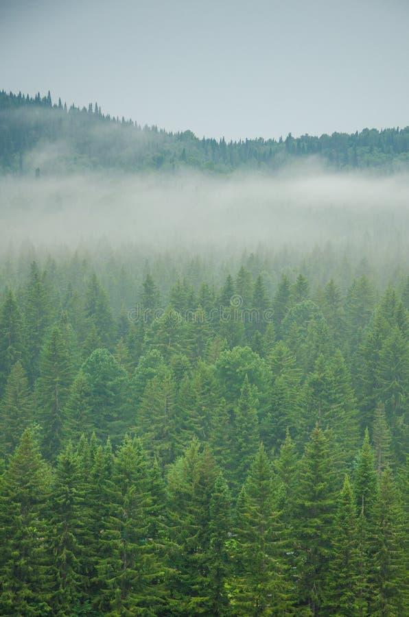 Download Brouillard épais De Matin Dans La Forêt D'été Image stock - Image du brumeux, pointeaux: 76086401