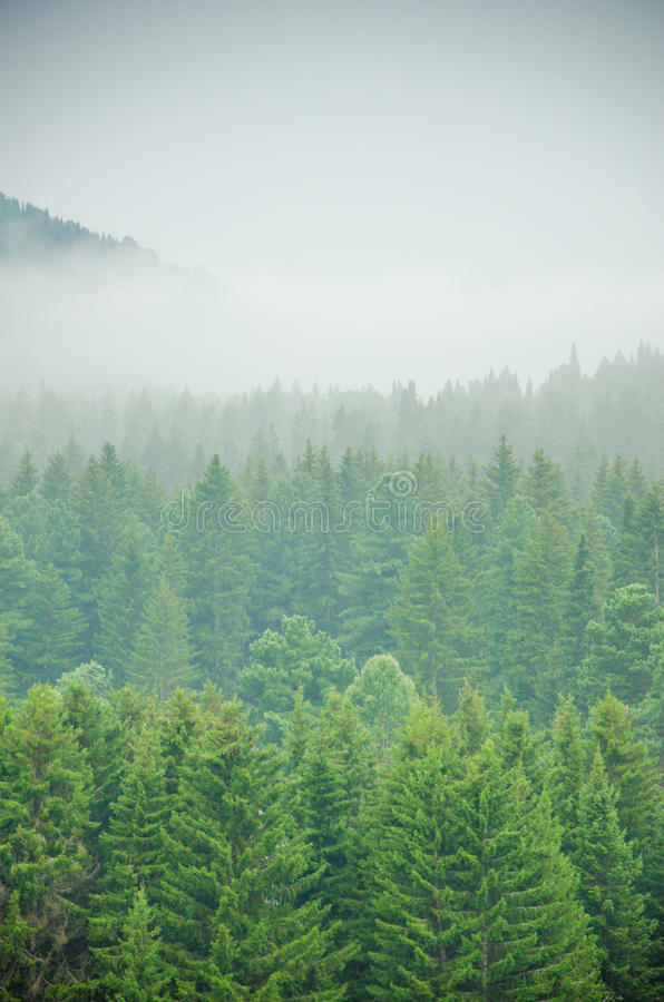 Download Brouillard épais De Matin Dans La Forêt D'été Image stock - Image du normal, nature: 76088205