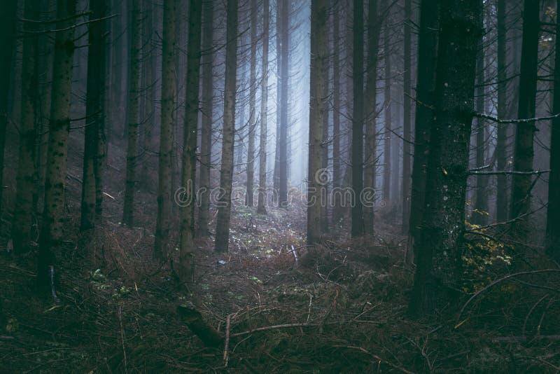 Brouillard bleu effrayant dans la forêt de pins photos stock