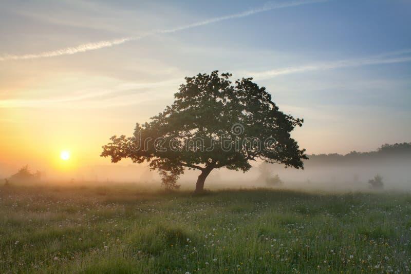 Brouillard et chêne de matin photos stock