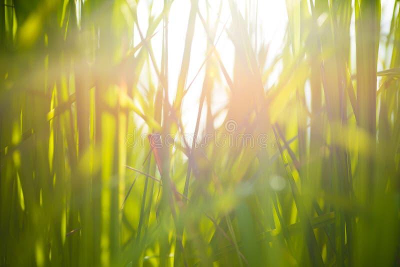 Brouillez la photo de la feuille verte de riz sur le fond de lever de soleil image libre de droits