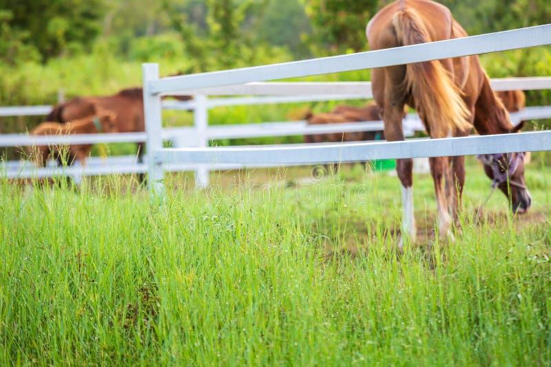Brouillez les chevaux à l'arrière-plan et les herbes avec la rosée de matin au premier plan, pré vert pour des chevaux avec une é photo stock