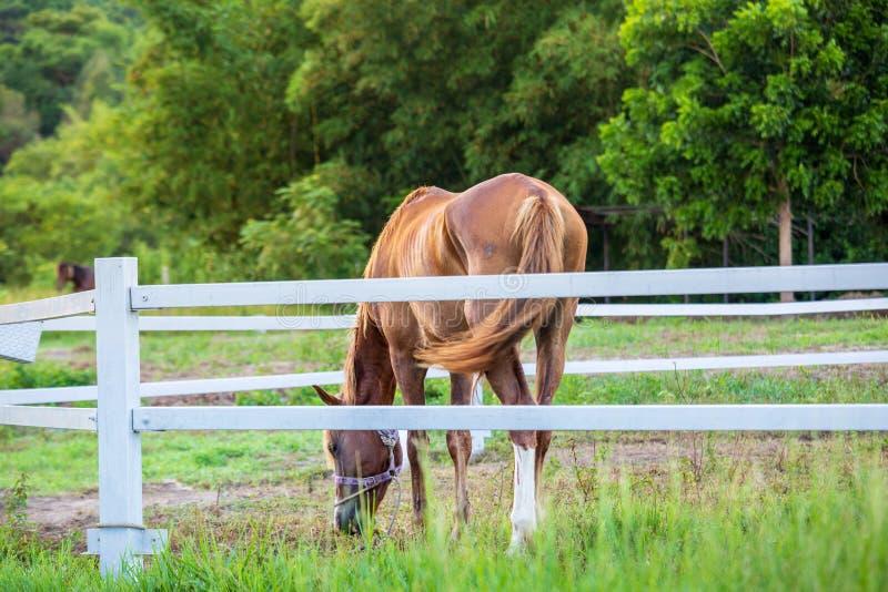 Brouillez les chevaux à l'arrière-plan et les herbes avec la rosée de matin au premier plan, pré vert pour des chevaux avec une é photos libres de droits