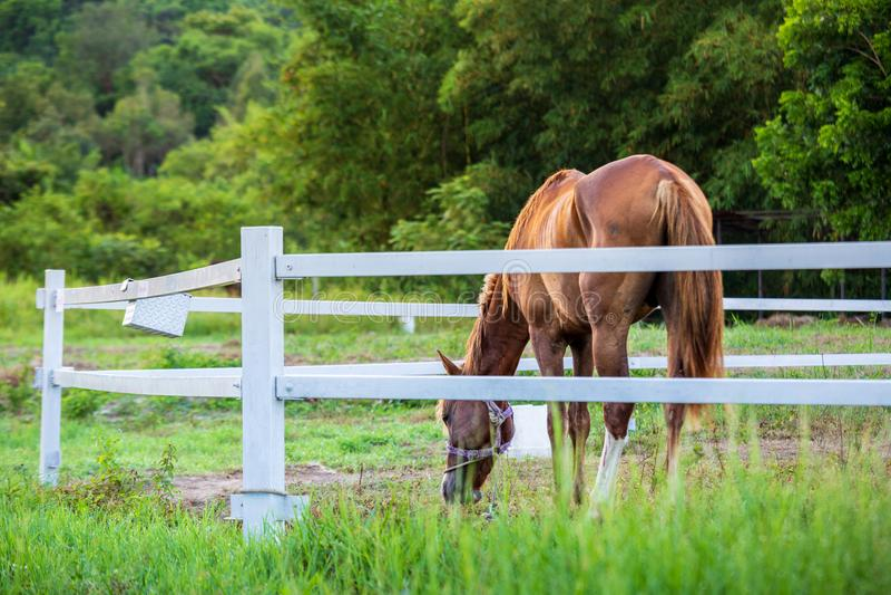 Brouillez les chevaux à l'arrière-plan et les herbes avec la rosée de matin au premier plan, pré vert pour des chevaux avec une é photographie stock