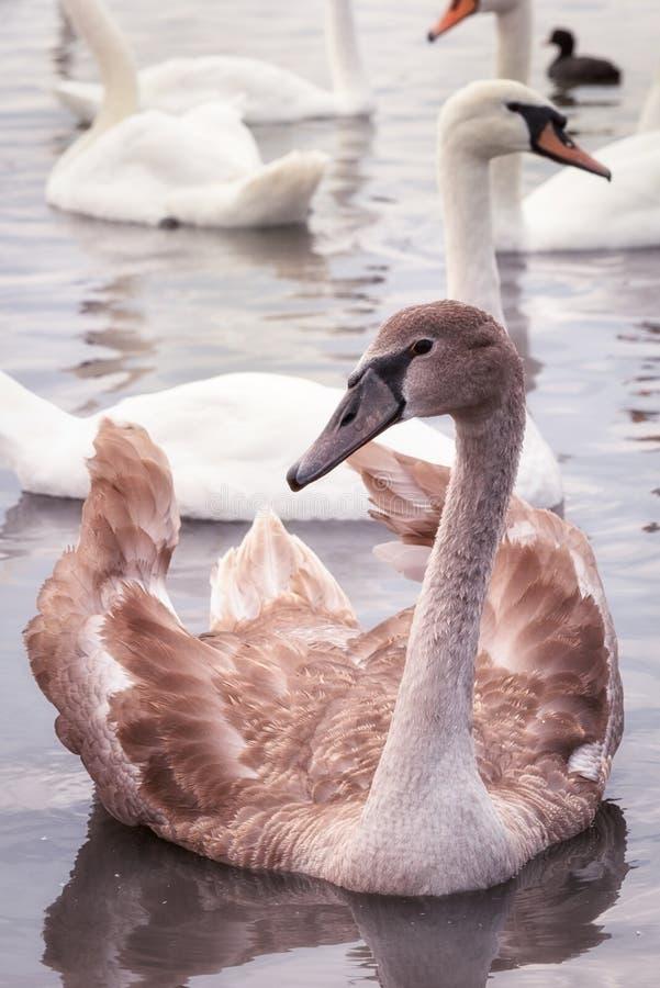 Broun ung svan på sjön royaltyfria foton