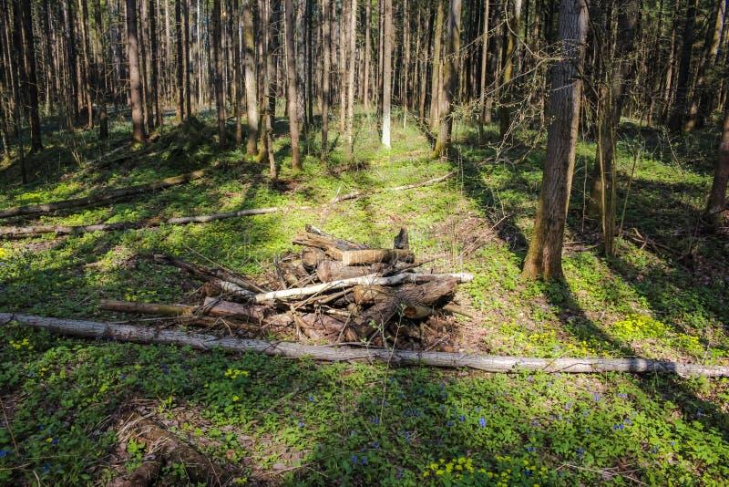 Broussaille dans la forêt conifére de ressort photographie stock libre de droits