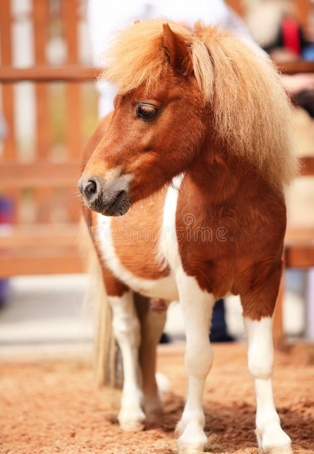 Download Brow miniature horse stock photo. Image of hair, pony - 25350928