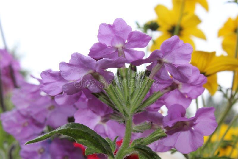 Browallia speciosalilor royaltyfri bild