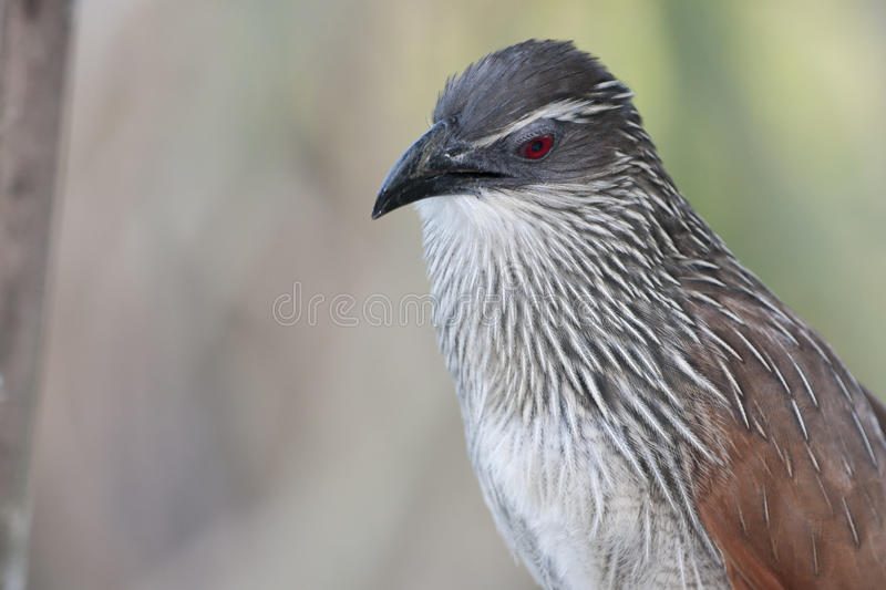 browed coucal белизна стоковые фотографии rf