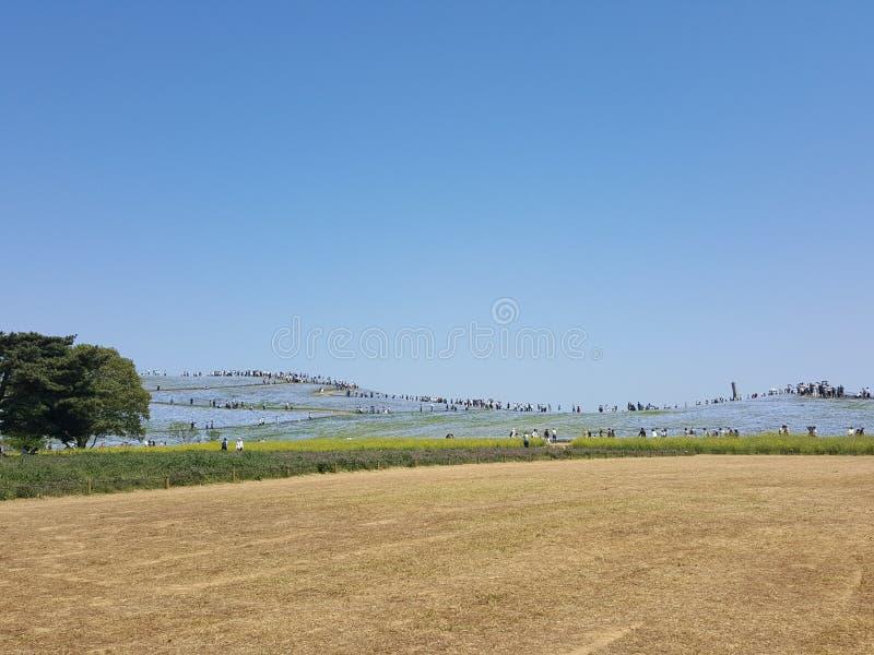 Brown łąka i błękitny kwiatu pole z niebieskim niebem zdjęcie royalty free
