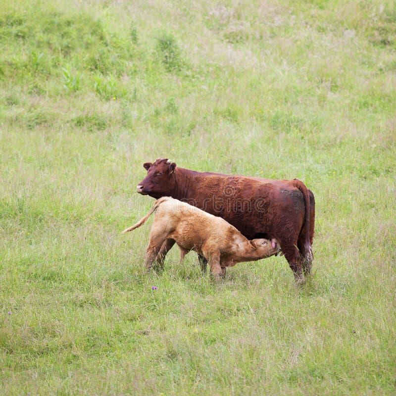 Brown łydka i krowa obrazy stock