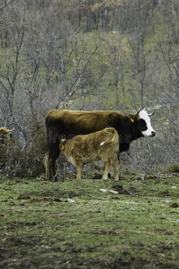 Brown łydki i krowy osesek w prerii obrazy royalty free