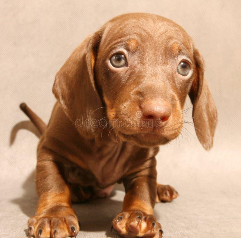 brown śliczny jamnika szczeniak zdjęcie royalty free