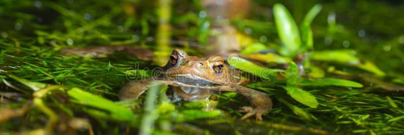 Brown żaby panorama obrazy stock
