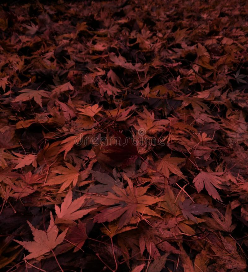 Brown Acer Autumn Leaves Squared immagine stock