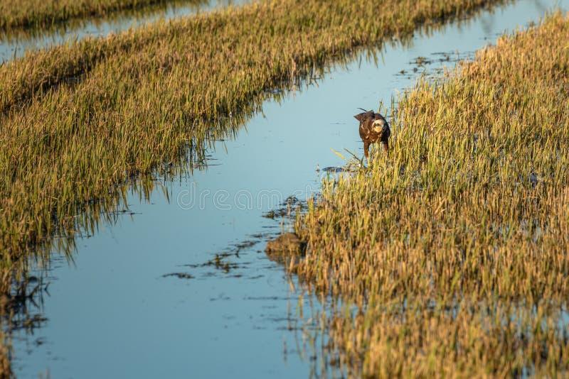 Brown-Adler in einem Grün und gelbes Reisfeld im Naturpark von Albufera, Valencia, Spanien Natürlicher Hintergrund stockfoto