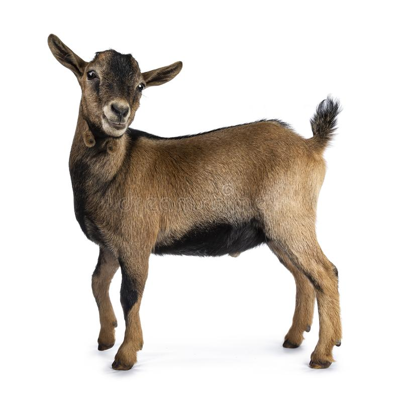 Brown agouti pygmy goat, isolated on white background royalty free stock photos