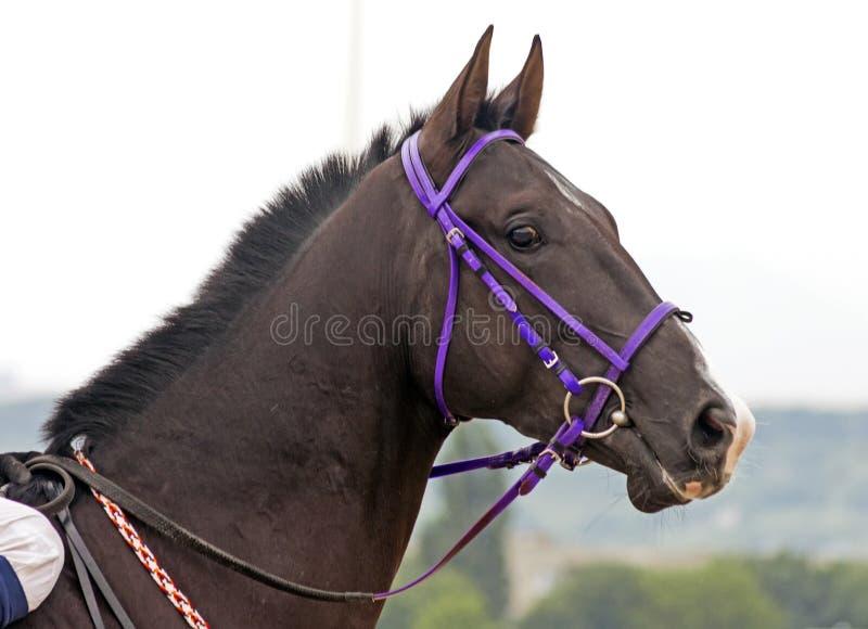 Brown akhal-teke horse stallion portrait. Brown akhal-teke horse stallion portrait,Northern Caucasus royalty free stock photos