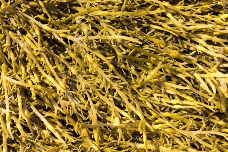 Brown algae, Ascophyllum. Close up royalty free stock photo