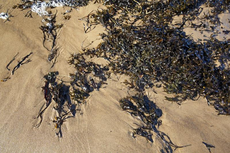 Brown algae on baltic sea sand. Brown algae washed up on baltic sea beach shore stock images