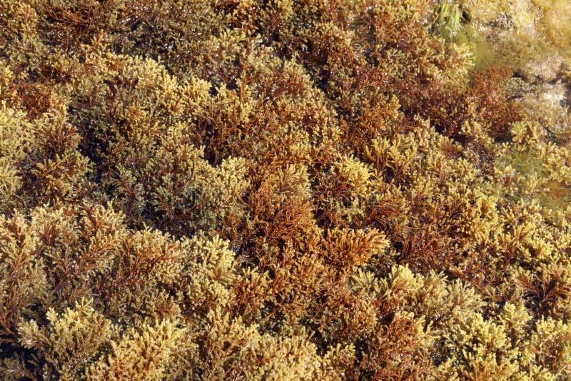 The brown algae Cystoseira mediterranea. A species from the Mediterranean Sea stock photography