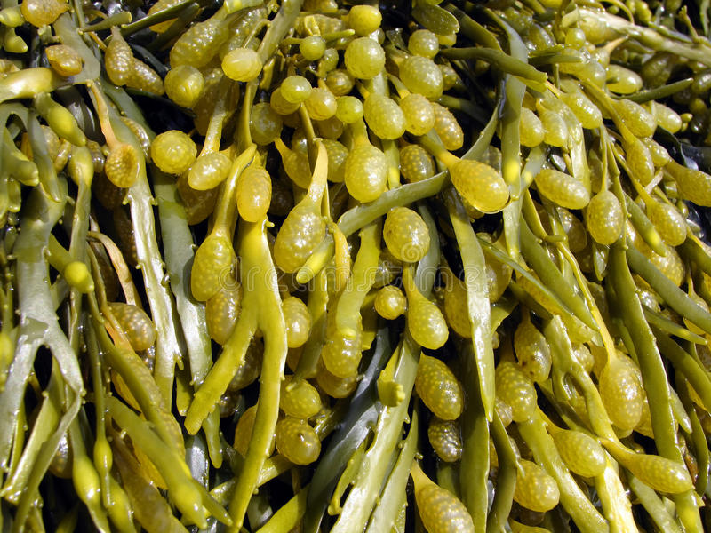 Brown algae, fucus. Brown algae in the White Sea, fucus royalty free stock image