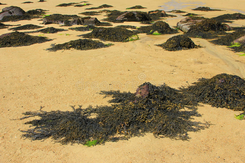 Brown algae (Fucus). Brown algae of the genus Fucus on the coast of Brittany, English Channel, France stock images