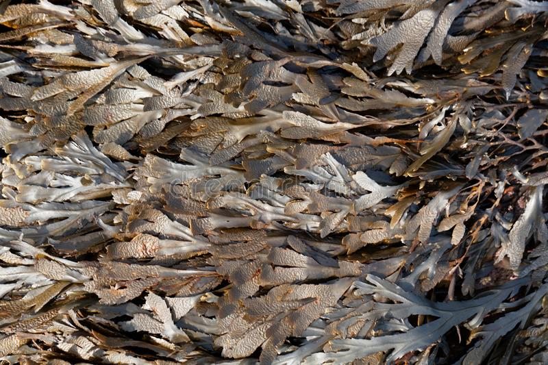 The brown algae toothed wrack Fucus serratus. From the Atlantic Ocean stock photos