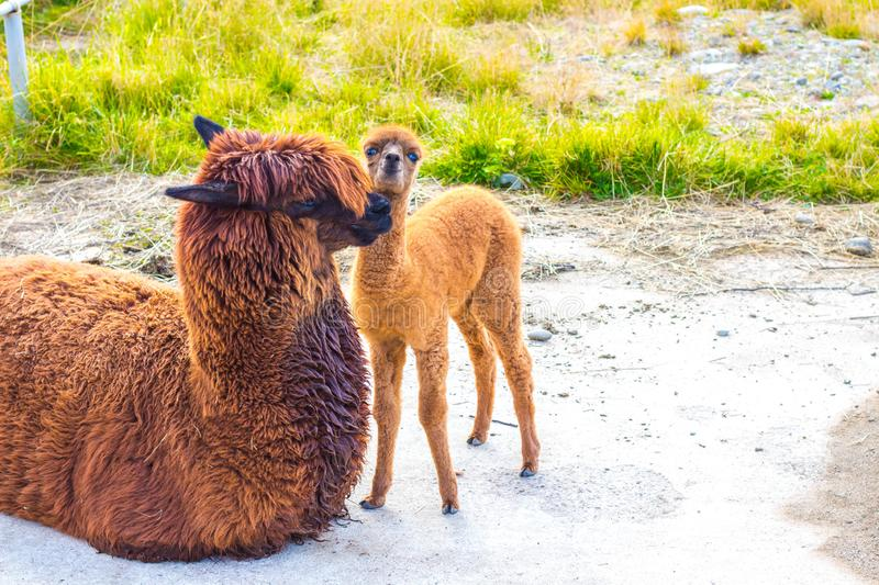 Brown alpaca animals in a clearing royalty free stock photos