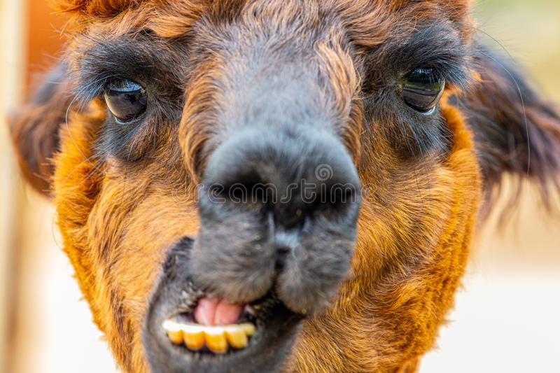 Brown alpaca head portrait with jaw movement stock photos