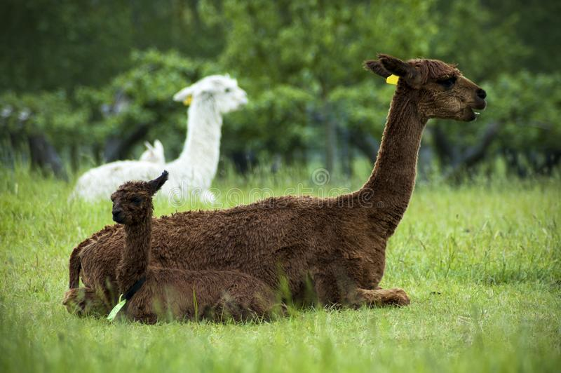 Brown alpaca mother and baby royalty free stock photo