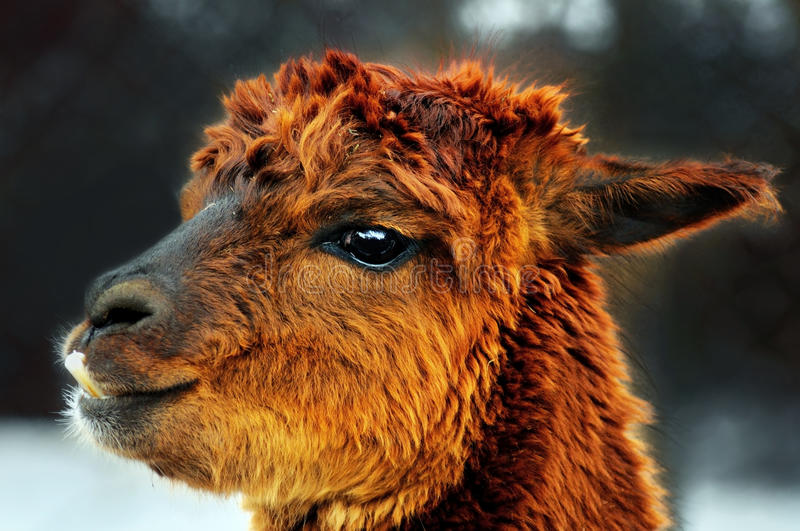 Brown alpaca portrait. Funny face brown alpaca (lama) portrait, great details stock images