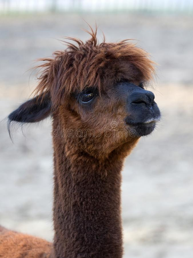 Brown Alpaca, a portrait. In a clearing royalty free stock image