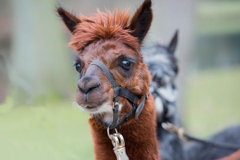 Brown alpaca portrait. Close up stock image