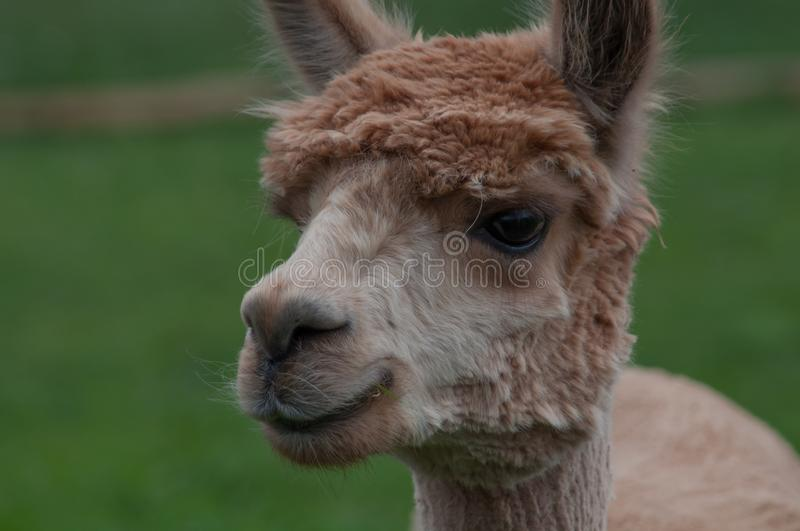 Brown alpaca portrait. Brown wool alpaca portrait, close-up stock image