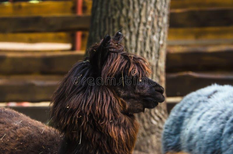 Brown alpaga w ziemia uprawna zoo fotografia royalty free